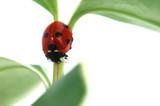 Ladybird on plant stem poster