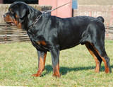 beautiful purebred rottweiler poster