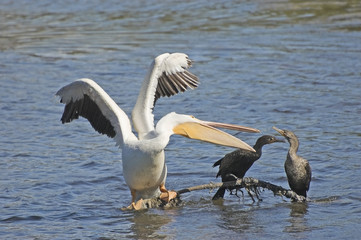 White Pelican with Cormorants