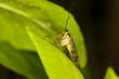mouche scorpion sur feuille