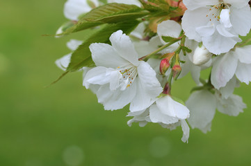White cherry blossom with fresh green background