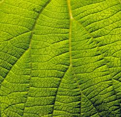 Leaf's fields