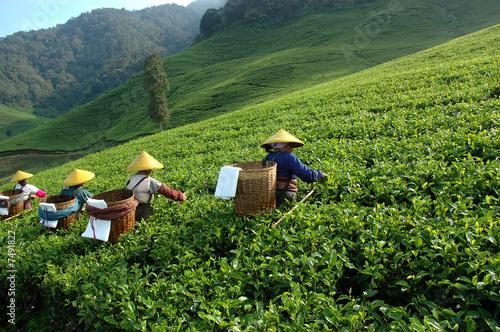 tea plantation - 7491822