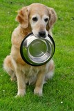 Golden retriever and hiny bowl on granule poster