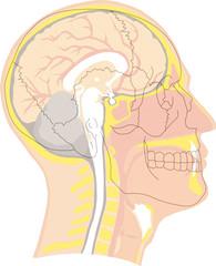 tête humaine - vue en coupe