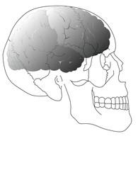 crâne et cerveau humain