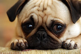 Fototapety Sad Pug Puppy
