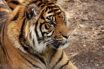 Profile Of A Sumatran Tiger