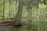 Old spruce over water at springtime forest poster