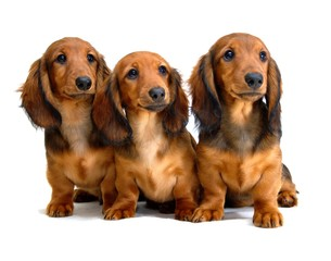 Three Longhair dachshund puppies