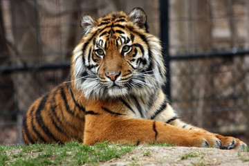 Exotic Tiger
