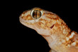 Giant ground gecko, Kalahari desert