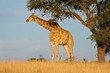 Giraffe and Acacia tree, Kalahari desert