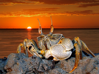 Ghost crab on rocks, Mozambique