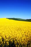 Fototapety rapeseed field in spring