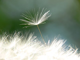Fototapety Samenschirmchen vom Löwenzahn