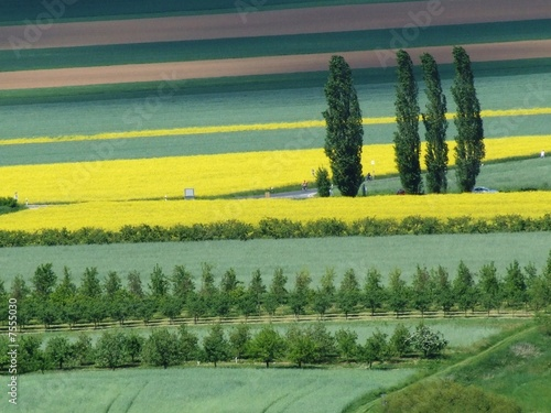 Rape field,Colza