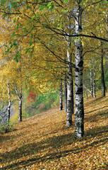 Birchwood in the autumn.