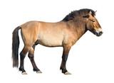 Przewalski wild horse cutout poster