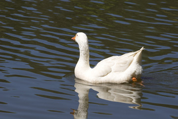 White Goose Swimming Away