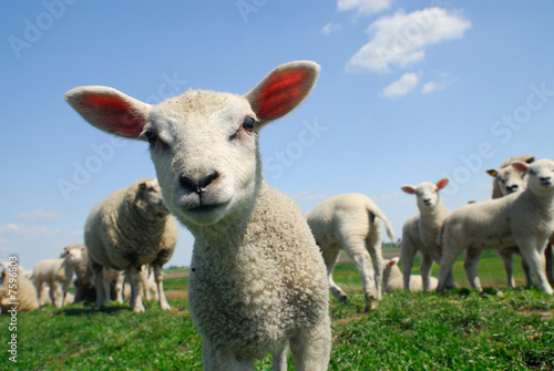 Sheep curious lamb in spring