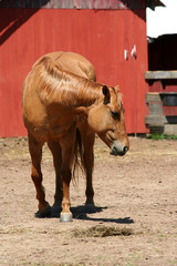 Chestnut horse near a red barn