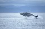 Fototapete Alaska - Tier - Meeressäuger