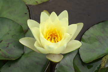 Big flower of water lily