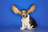 Basset hound with ears extended