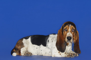 Basset hound lying down, head up