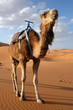 canvas print picture Camel in the Sahara Desert