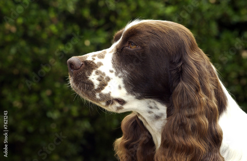 Chien de race Springer Spaniel