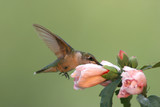 Hungry Ruby-throated Hummingbird at a Hibiscus flower poster