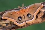 Polifem Moth