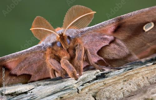 Poster Polyphemus moth portrait