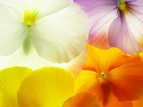 colorful viola - 7631075