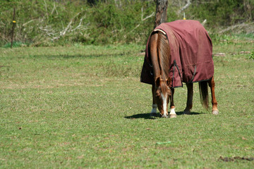 Brown horse with coat in a green field