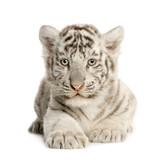 Fototapeta White Tiger cub (2 months)