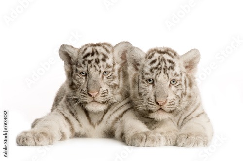 White Tiger cub (2 months)