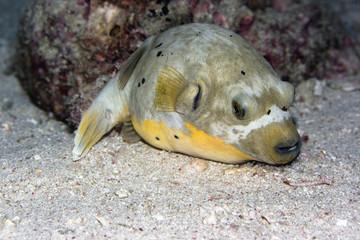 Pufferfish underwater