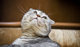 Scottish Fold cat looking up