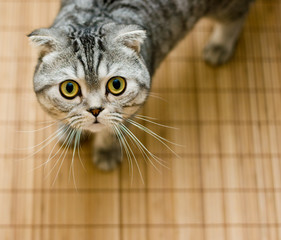Scottish Fold cat looking up