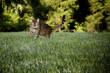 Bengal Cat in grass poster