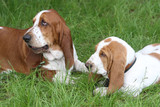 two Basset Hound poster