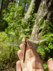 dragonfly on the hand