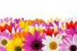 Cheerful daisy border