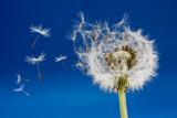 Fototapeta życzenie - dmuchanie - Kwiat