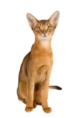Abyssinian cat over white background