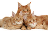 Maine coon cats over white background poster
