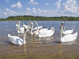 swan colony